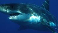 Beyaz köpek balığı (Carcharodon carcharias), Lamnidae familyasından bir köpek balığı türü. Boyu 6 (nadiren 7) metreye ağırlığı 1.7 tona kadar ulaşabilen bu köpek balığı, bütün dünyadaki ılıman sularda, dolayısı ile Türkiye'nin Akdeniz, Ege ve Marmara kıyılarında bulunur. Bazı kaynaklarda, Karadeniz'de […]