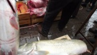 Karakoçan'da sabah saatlerinde Perisuyu'na balık avlamak için giden balıkçılar torlarına takılan 3 balığı görünce şaşırdılar. Kovancılar'a getirilerek satışa sunulan balıklardan birinin ağırlığı 40 diğer iki balığın ağırlığı ise 30 kilogram olarak tartıldı. Bölgede benzerine az rastlanılan balıklara vatandaşlar yoğun ilgi […]