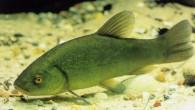 Kadife balığı (Tinca tinca), Yeşil sazan olarak da bilinir, sazangiller (Cyprinidae) familyasından fazla haraket etmeyen yavaş akan suların dıp kısımlarında yaşayan bir balık türü. Bütün Avrupa'da ve Asya'nın orta derece...