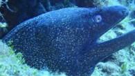 Müren balıkları, genelde hakkında az şey bilinen ancak yılana benzeyen görüntüsü ve sürekli açık ağızları sebebiyle tedirginlik yaratan deniz canlılarıdır. Dalışlarımızda karşımıza çıkan mürenler, Roma döneminden günümüze kadar yaşam gerçekleri...