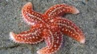 Adi deniz yıldızı (Astropecten aurantiacus), Astropectinidae familyasından bir deniz yıldızı türü. Vücut merkezi bir diskoidal kısım ve bundan ayrılan uzun kollardan meydana gelmiştir. Bu kollar merkezi diske doğru giderek genişleyerek disk etrafında geniş birer tabanla birbirleriyle birleşirler .Vücutlarının çapı 50-60 […]