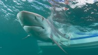 They're back! In the largest migration in U.S. coastal waters, blacktip sharks are headed south in the thousands for their annual migration off Florida's southeast coast. For eight consecutive years,...