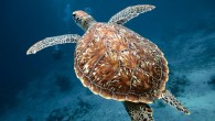 Every encounter with an endangered sea turtle is special, but it can be tough to detect which species you actually saw. If the turtle is about 3 feet long, has...