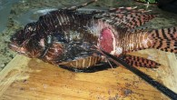 For some months now, sick or injured lionfish have been found off the coast of Klein Bonaire. The injuries are all the same. The animals are found floating on the...