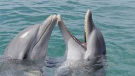 Researchers played videos on a TV screen through underwater windows Played scenes from Sir David Attenborough's Planet Earth and Spongebob Squarepants among other shows Among bottlenose dolphins, males watched the...