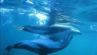 THERE'S AN AWFUL LOT WE don't know about dolphin and porpoise sex. It mostly takes place underwater (though some versions involve a leap), and at seemingly random intervals. Different species...