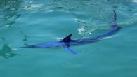 Dünyanın en hızlı deniz canlısı olarak Guinness Rekorlar Kitabı'na giren ve soyu tükenme tehlikesiyle karşı karşıya olan yavru mavi yelken balığı, Antalya'nın Kemer ilçesinde görüntülendi Kaynak: Dünyanın en hızlısı Kemer'de...