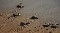 Caretta carettaların Akdeniz'deki en büyük yuvalama alanı Belek sahillerinde, bu yıl yuva sayısı, 2 bin 100′e ulaştı. Bu yuvalardan yaklaşık yüzde 80′i açıldı ve 60 bine yakın yavru denize kavuştu....