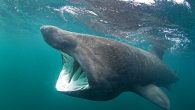 Michael Amos, 20, from Cornwall, was near a paddleboarder when he caught the magic moment on camera The marine and natural history photography student says it has long been a dream of his to snap these sharks 'Looking back at […]