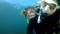 Diver took selfie with pufferfish who started following her around in the water Photographer came across the globefish in the Mornington Peninsula, Victoria It peered into Ms Caseys GoPro as she pointed it towards the pair of them By ALANA […]