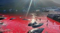 The Grindadraps or Grinds, as they are known in Faroese, took place on Sunday in the Danish archipelego A pod of 52 pilot whales were spotted in the north in the early hours and driven towards a killing bay Then […]