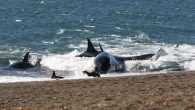 Twice a year, a pod of 23 orca whales makes its way back to the Valdés Peninsula, located in Patagonia, Argentina, to hunt for sea lions in a unique, intentional beaching spectacle that only occurs in this region of the […]