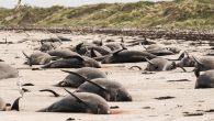 Yeni Zelanda'nın Chatham Adaları'nda onlarca balina ve yunus karaya vurmuş halde bulundu. Yetkililer, 97 balina ve 3 yunusun öldüğünü duyurdu. Yeni Zelanda'nın doğu yakası bugün yürek parçalayan görüntülere sahne oldu. Doğu sahilinin 800 kilometre açığında bulunan Chatham Adaları'nda onlarca balina […]