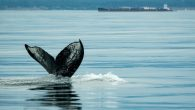 """Whale researchers with the Pacific Whale Watch Association (PWWA) are suggesting there is a """"Humpback Comeback"""" as hundreds of humpback whales have started to return to B.C. waters regularly. Whale researchers first documented a single humpback whale in 1997 and […]"""