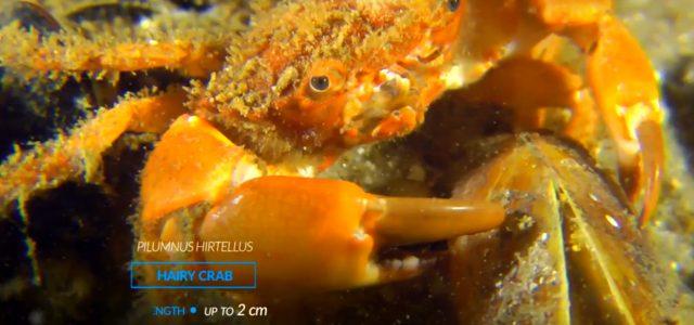 Karadeniz'in Kırmızı Alg – Phyllophora AlanlarıZernov'un Phyllophora Alanları olarak bilinen büyük ve küçük kırmızı alg tarlaları Karadeniz'in kuzeybatısında yer alan eşsiz habitatlardır. #EMBLAS Projesi kapsamında hazırlanan kısa belegeseli için: https://t.co/ihoFfhNB4Q pic.twitter.com/nadViD2OQu — Türk Deniz Araştırmaları Vakfı (TÜDAV) (@TudavTudav) April 7, […]
