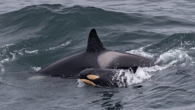 A rare newborn orca calf has been spotted playing with her mum off the coast of Scotland. The baby, with an orange-tint on its belly, was accompanied by four older killer whales in the Moray Firth, near Duncansbayhead, Caithness. Wildlife […]