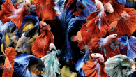 By SARAH ZHANG In 1975, scientists tried spaying a few hundred female betta fish. We all know what happens to spayed cats and dogs: They become sterile. Betta fish are different. A third of the surviving bettas regenerated an ovary—which, […]