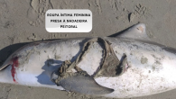 by Katie Davis A THONG became so tightly wrapped around a dolphin's flipper that it almost cut to the bone and contributed to the animal's death. The sea creature washed up on a Brazilian beach with the underwear attached to […]
