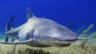 """by Jansen Baier A study analyzing 109 shark-related films from 1958 to 2019 has found that 96% of them overtly portrayed sharks as potentially threatening to humans. """"Finding Dory"""" was the only film in that list not to portray sharks […]"""