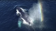 Environmentalists in Iceland are working on an innovative (though somewhat sticky) research project from the skies. Crews in sailboats dispatch drones above breeching whales to catch snot discharged from their blowholes to learn if rising tourism levels are stressing them […]