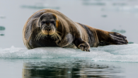 ByAndrei Ionescu In the small village of Kotzebue, Alaska, seal hunting has been an essential feature of the indigenous way of life since times immemorial. A recent study found that over the past 17 years, climate change has significantly reduced […]