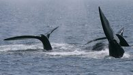 By Charlie McKenna Globe Correspondent The seasonal speed restriction on small vessels in Cape Cod Bay was extended Friday through May 15, a result of the ongoing presence of right whales in the area, according to the Massachusetts Division of […]