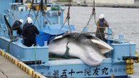 Japonya'nın kuzeydoğu eyaletleri ile Hokkaido kıyılarında 2021 yılı ticari kıyı balina avcılığı sezonu açıldı. Japonya Balıkçılık Ajansı, yeni sezonda kuzeydoğudaki Sanriku sahilleri ile Hokkaido açıklarında Ekim 2021'e kadar 120 minke balinasının avlanmasının hedeflendiğini bildirdi. Bu kapsamda Miyagi eyaletinin İşinomaki kenti […]