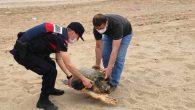 Adana'nın Yumurtalık ilçesinde sahilde bulunan yaralı caretta caretta tedaviye alındı. Adana'nın Kemalpaşa Mahallesi'nde sahil kenarında yaralı bir caretta caretta olduğunu fark eden vatandaşlar, durumu İl Jandarma Komutanlığı ekiplerine bildirdi. Jandarma ekipleri, caretta carettayı battığı kumdan çıkararak Doğa Koruma ve Milli […]