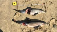 Two baby dolphins that washed up at Cefani Beach on Wednesday Kevin Cole The carcasses of two baby dolphins that washed up at Cefani Beach on the Wild Coast near East London this week, will be sent to Bayworld in […]