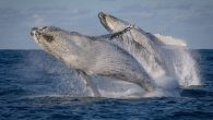 Whale researchers are calling for a ban on tours allowing people to swim with whales, saying the interactions are disturbing the marine mammals on their annual migration off Australia's east coast. Swim-with-whales tours have been in operation in Queensland for […]