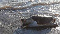 Muğla'nın Fethiye ilçesinde sahil kesiminde bir adet caretta caretta cinsi deniz kaplumbağası bulundu. Edinilen bilgiye göre, Yanıklar Mahallesi'nde Karaot Plajı'nda vatandaşlar bir caretta carettanın hareketsiz olduğunu fark etti. Yanına yaklaştıklarında kaplumbağanın ölü olduğunu anlayan vatandaşlar, durumu Deniz Kaplumbağaları Araştırma, Kurtarma […]