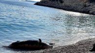 Kaş'ın Seyret Çakılı Plajı'nda sahile fok ölüsü vurduğu öğrenildi. Yaşlılık nedeniyle öldüğü tahmin edilen fokun incelemenin ardından belirlenecek alana gömüleceği bildirildi. Antalya'nın Kaş ilçesi sahilinde ölü fok bulundu. İhbar üzerine Seyret Çakılı Plajı'na giden Kalkan Sahil Güvenlik ekipleri, 250 kilogram […]