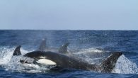 By Chris King AFTER a string of attacks by killer whales on sailboats this year off the coast of Cadiz, an expert who regularly dives with the orcas has put forward his theory about these attacks Francisco Gil has been […]