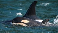 """The National Oceanic and Atmospheric Administration (NOAA) unveiled new """"action plans"""" on Thursday, to ensure the recovery of five endangered species, for a list that includes Southern Resident orcas. The Puget Sound region's orcas first appeared on the endangered list […]"""