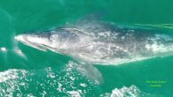 By Courtney Teague SANTA CRUZ COUNTY, CA — Officials are asking residents of the Monterey Bay area and Northern California to keep an eye out for a months-old gray whale that became entangled in fishing gear, The Mercury News reported. […]