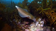 By Adam Holmes A group advocating for more marine protection areas is disappointed that discussion on the issue quickly deteriorated once again, saying the Greens lacked enough detail in their policy, and the Liberals were being misleading. Mike Jacques, who […]