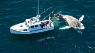 WHDH) — The Atlantic White Shark Conservancy on Tuesday shared photos of the largest shark ever to be tagged in the waters off Cape Cod. Curly, an 18-foot female white shark, was spotted feeding on a humpback whale carcass off […]