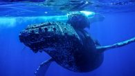 After at least nine collisions, the Hawaiian Islands Humpback Whale National Marine Sanctuary is asking boaters to navigate waters carefully in order to avoid running into the mammals, which can weight up to 40 tons. Most of the whales reported […]