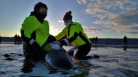 By Vernon Ramesar A baby female pilot whale that was found stranded over the weekend at a beach east of Halifax didn't survive, despite the best efforts of rescuers from a marine animal conservation group. Tonya Wimmer, the executive director […]